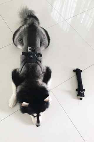 可爱的狗狗阿拉斯加犬手机壁纸