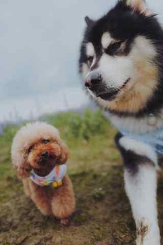 阿拉斯加犬与泰迪手机壁纸