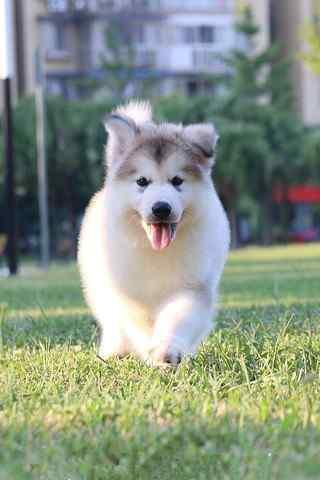 露着舌头奔跑的可爱小阿拉斯加犬手机壁纸