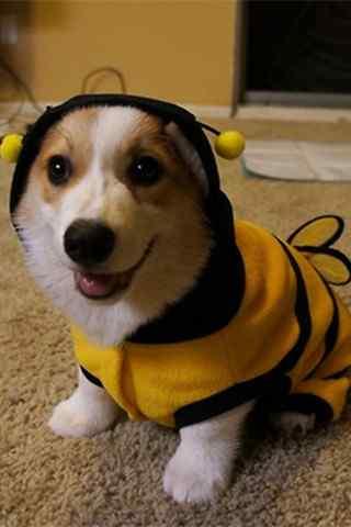 COS小蜜蜂的可爱小柯基犬手机壁纸