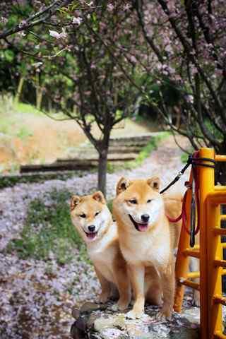 两只可爱的柴犬手机壁纸