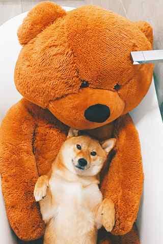 柴犬与毛绒玩具大熊手机壁纸