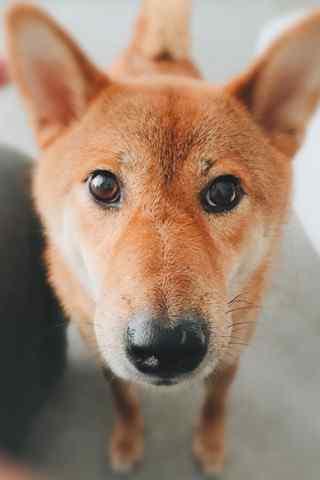 萌物柴犬看着你手机壁纸