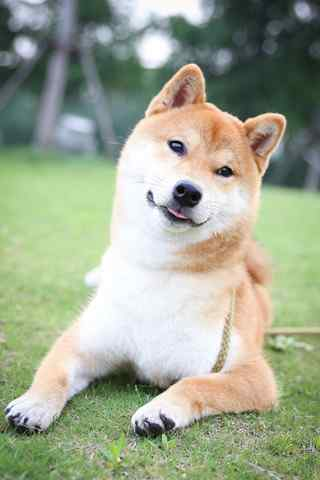 柴(chai)犬歪頭賣(mai)萌(meng)手機壁紙