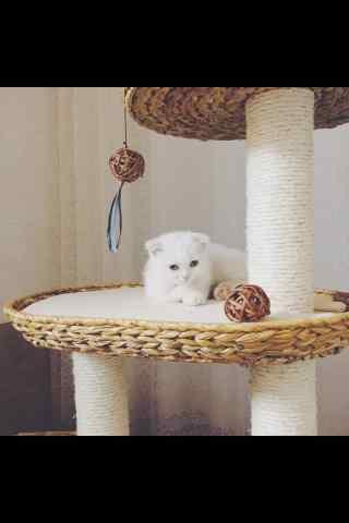 萌萌哒英短小猫咪手机壁纸