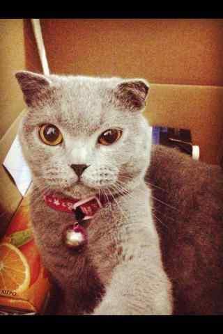 可爱英短猫咪自拍照手机壁纸