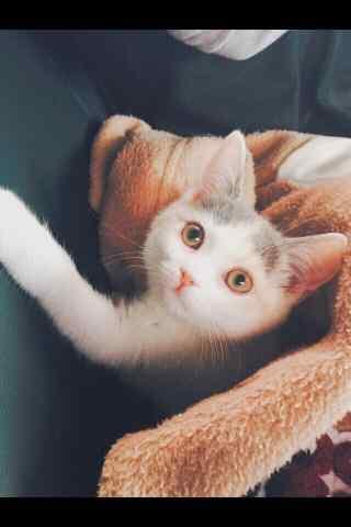 呆萌英短三花可爱猫咪手机壁纸