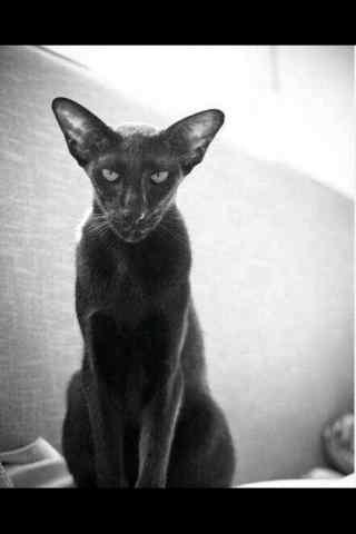 神秘有个性的黑白东方短毛猫手机壁纸