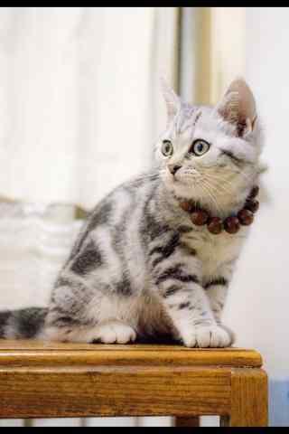 在家修行的可爱美短猫行者手机壁纸