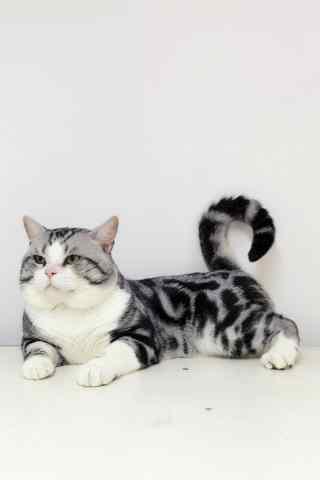 可爱的美短小猫咪手机壁纸