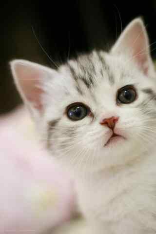 超萌美短小奶猫之手机壁纸