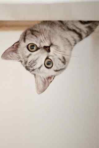 萌萌哒美短猫咪探头照手机壁纸