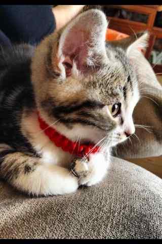 可爱的美短小猫近距离照手机壁纸