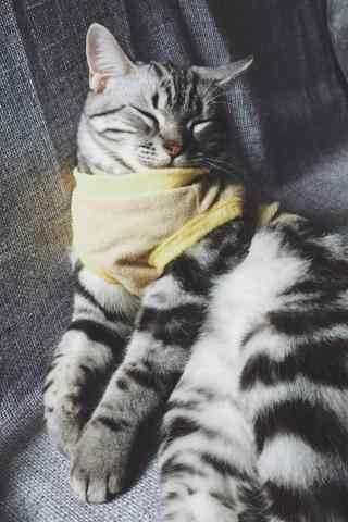 美短小猫之可爱手机壁纸