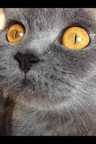 个性英短猫咪大脸特写手机壁纸