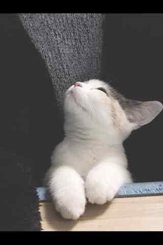 萌萌哒英短小猫咪抬头手机壁纸