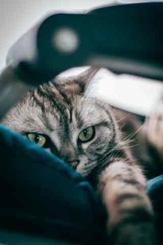 霸气的女王美短猫咪手机壁纸