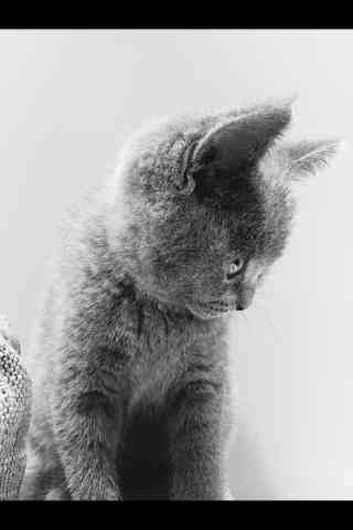 可爱英短猫咪个性手机壁纸