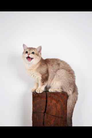 萌萌哒英短猫叫唤手机壁纸