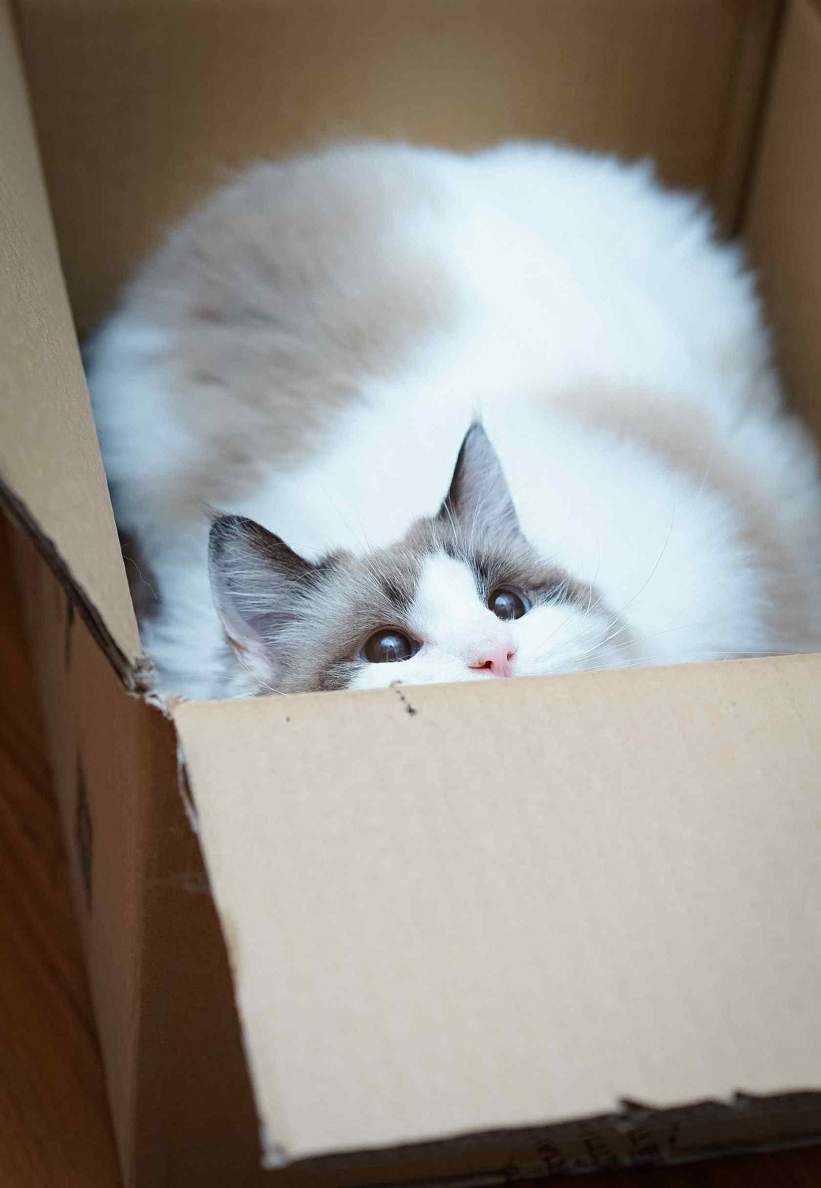 萌萌哒躲在箱子里的布偶猫手机壁纸