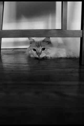 黑白个性布偶猫躲猫猫图手机壁纸