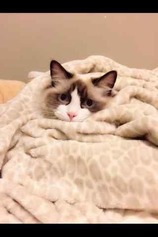 躲在被子里的可爱布偶猫手机壁纸