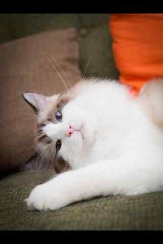 可爱呆萌的布偶猫手机壁纸