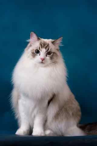 优雅气质的甜美布偶猫手机壁纸
