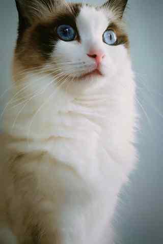 惊呆了的布偶猫手机壁纸