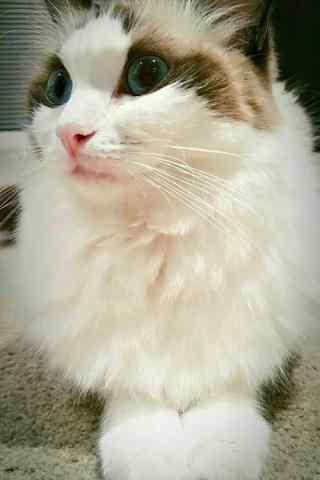 甜美安静文艺的布偶猫手机壁纸