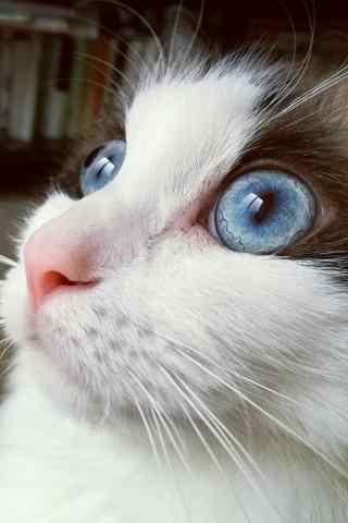 美丽的布偶猫头部特写手机壁纸
