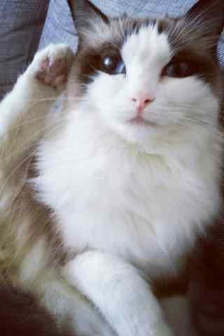 奇葩睡姿的可爱布偶猫手机壁纸