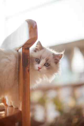 站在椅子上晒太阳的布偶猫手机壁纸