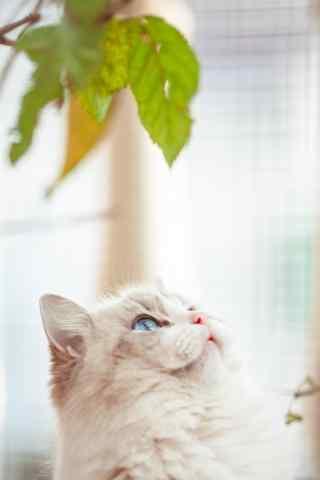 甜美可爱的布偶猫手机壁纸