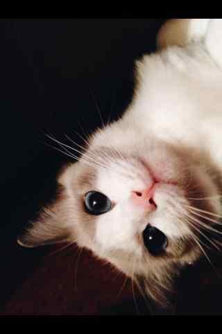 可爱的布偶猫和你躲猫猫手机壁纸