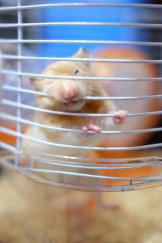 趴在笼子栏杆上的可爱小仓鼠手机壁纸