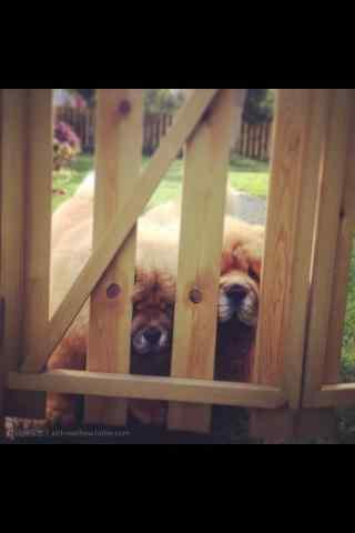 松狮被关在门外的小可爱们手机壁纸