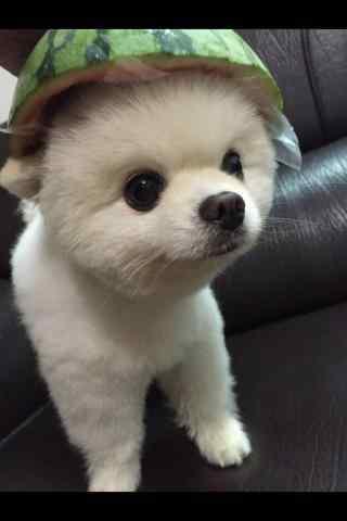 头戴西瓜帽的可爱博美狗狗手机壁纸