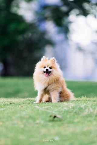 坐在草地上的可爱博美狗狗手机壁纸