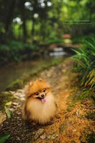 在森林里的可爱博美狗狗手机壁纸