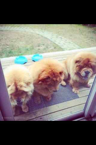 松狮家门口的三只松狮手机壁纸