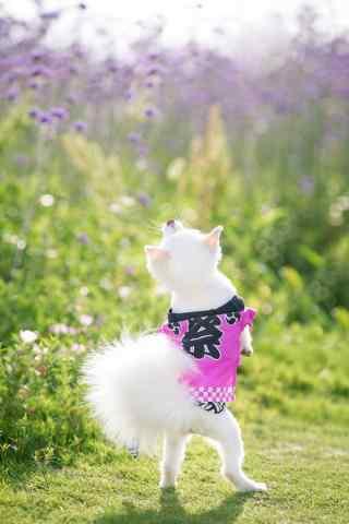 在薰衣草地里跳舞的可爱博美狗狗手机壁纸