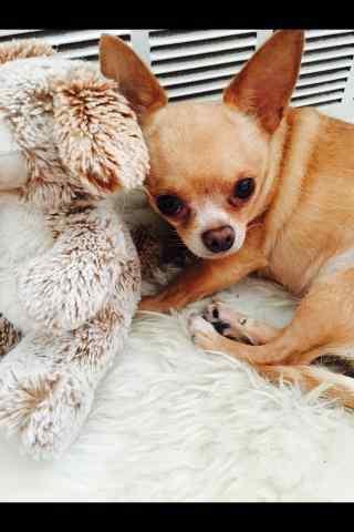 和玩具小熊在一起的可爱吉娃娃手机壁纸