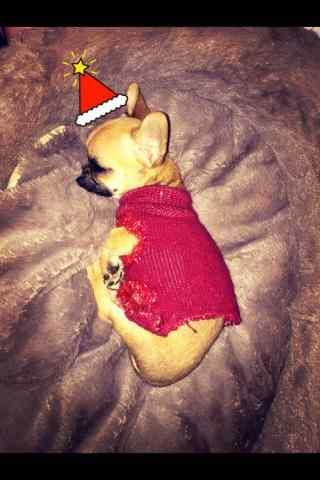 可爱圣诞狗狗吉娃娃手机壁纸