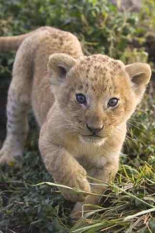 可爱的小狮子手机壁纸