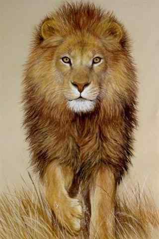 行走中的狮子手机壁纸