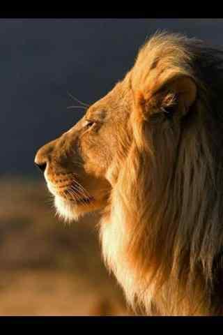 安静的狮子手机壁纸