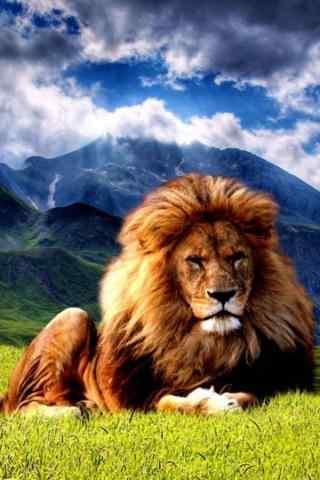 草原狮子动物壁纸