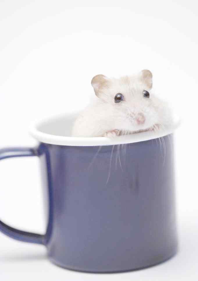 杯子里的可爱小白鼠图片手机壁纸
