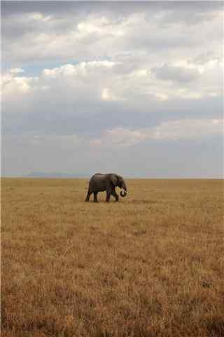 草原上孤独的大象